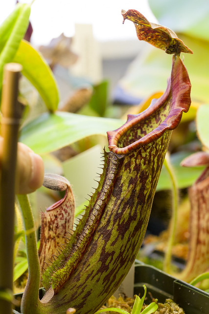 Nepenthes maxima Borone MT