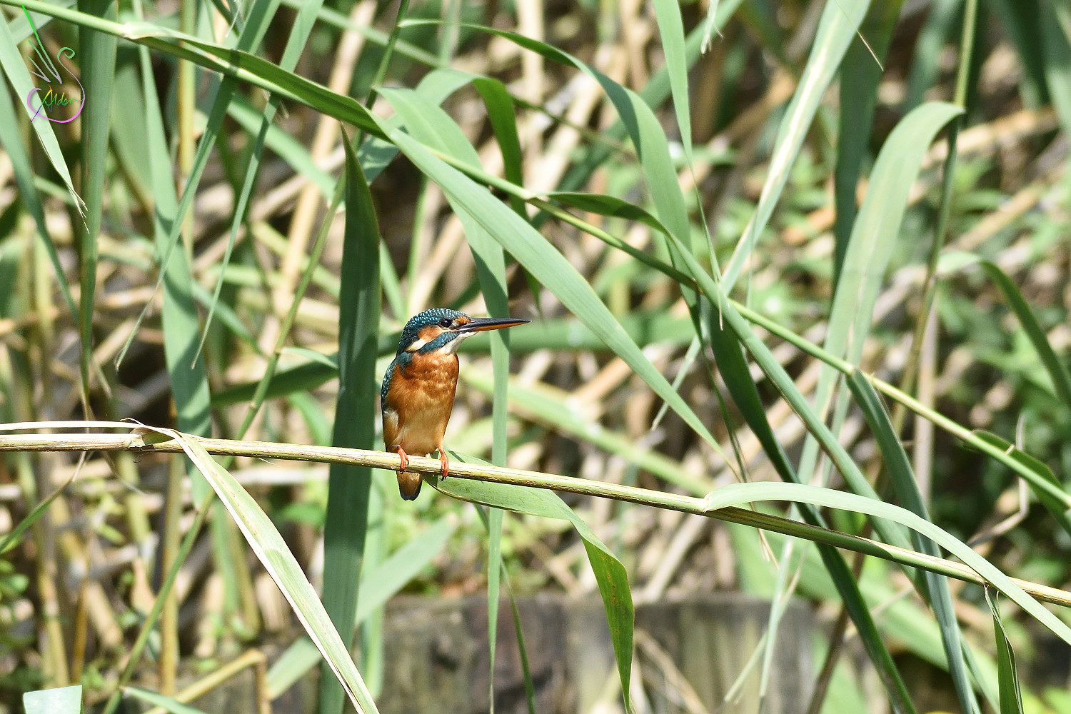 Common_Kingfisher_5995