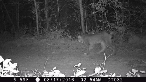 Kettle Lynx 2016 Photo WSU and Working for Wildlife Initiative 3