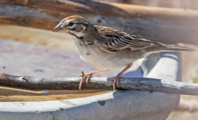 Lark-Sparrow-6-7D2-091216