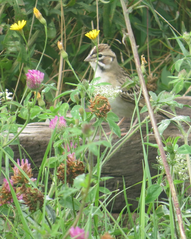 Lark Sparrow - Sept. 1, 2016 Lingan - Cape Breton - NS - proudly photographed with my crazy Border Collie on leash