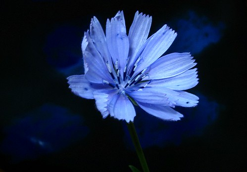 FIORE DI CICORIA (CHICORY FLOWER)  ! Buon weekend !) | by mario dsn (Stop religious persecution !)