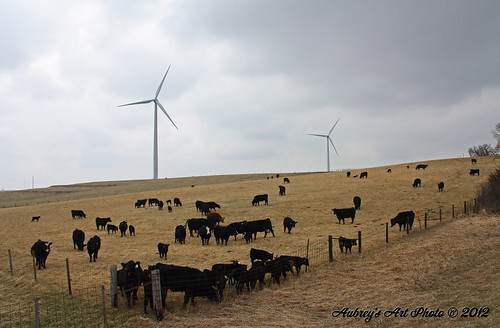 Cows graze beneath MidAmerican Energy's 153 MW Walnut Wind Park, located in Pottawattamie County, Iowa. | by NA Windpower