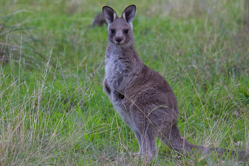 Young kangaroo 2012-07-11 (_MG_0848) | by ajhaysom