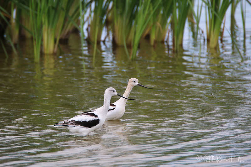 IMG_1600AmericanAvocets