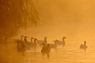 Geese in early misty light | by kristine913