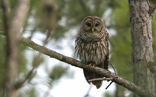 Barred Owl (Strix varia) | by Mark Herse