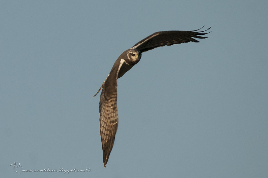 Gavilán planeador (Long-winged Harrier) Circus buffoni