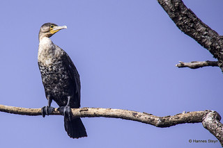 White-breasted Cormorant | by hannes.steyn