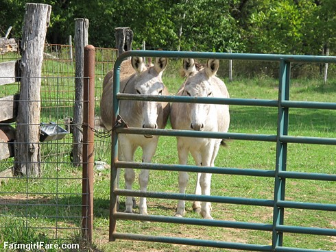 Dolores and Daphne doing the donkey treat death stare (1) | by Farmgirl Susan
