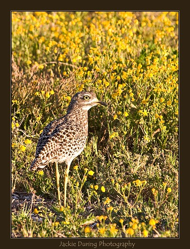 Spotted Thick-knee 9111 | by jackie.during