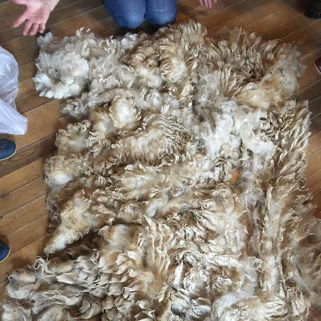 Raw fleece class at VT Sheep and Wool this morning. Going to buy my first fresh-off-a-sheep fleece today! #vtsheepandwool
