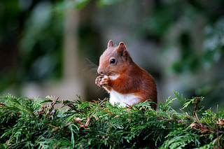 Red Squirrel | by LYT4X