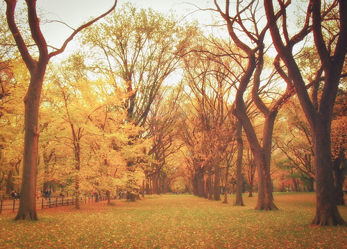 Autumn Elm Trees - Central Park - New York City | by Vivienne Gucwa