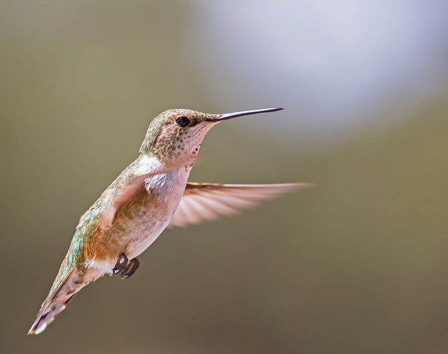 Broad-Tailed-Hummer-18_7d1__170716