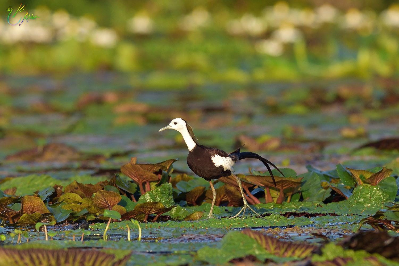Pheasant-tailed_Jacana_2445
