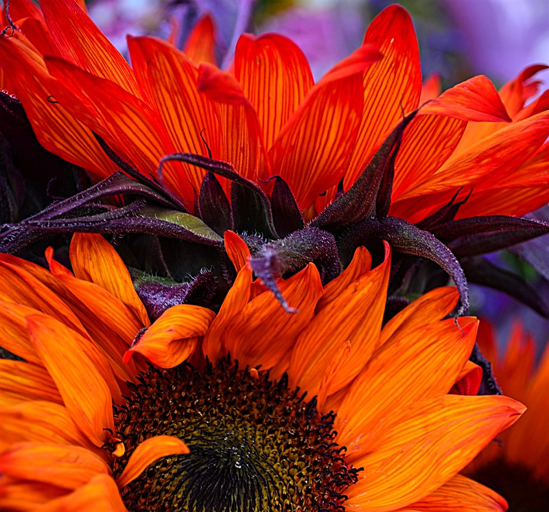 Orange Sunflowers
