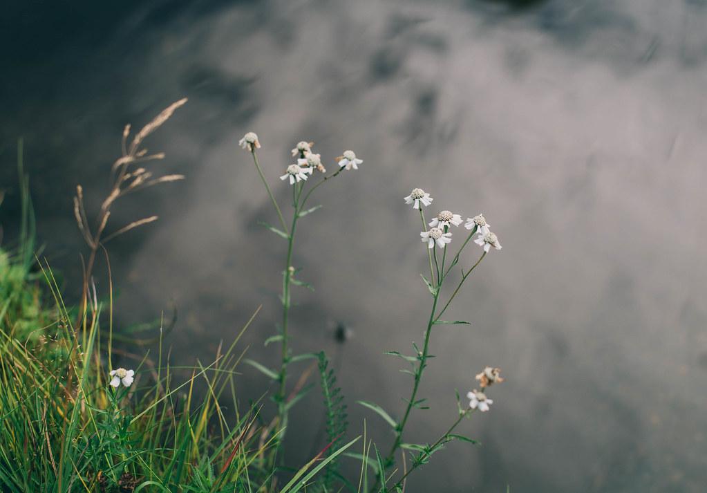 Vita blommor vid dammen