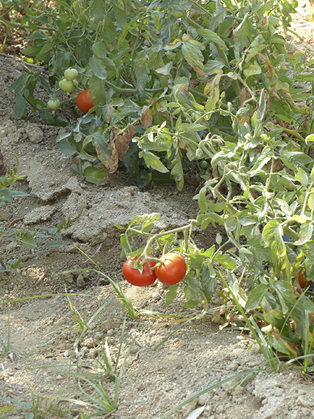tomates à Naxos