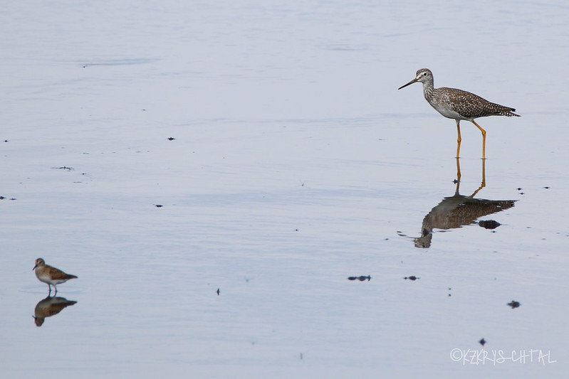 IMG_1301LeastSandpiperGreaterYellowlegs