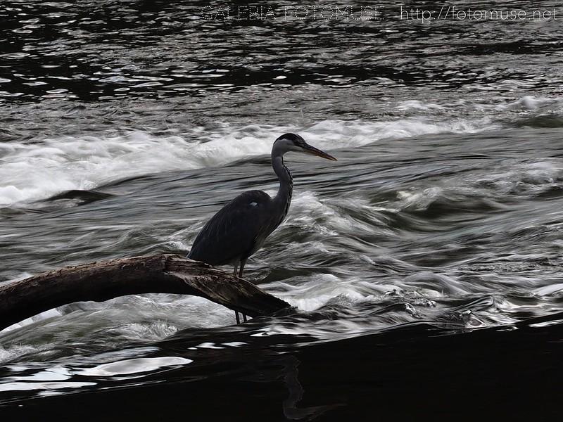 Czapla / Heron