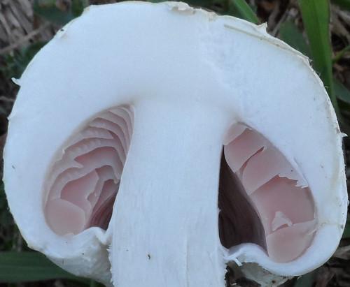 Mushroom Deathcap