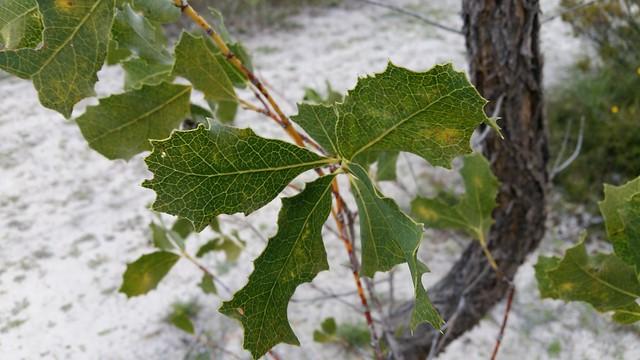 woody pear leaves