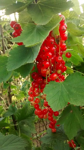 redcurrants Aug 16 5