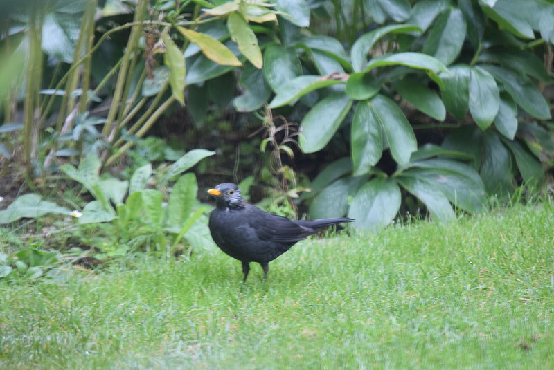Male Blackbird 22.09 (17)