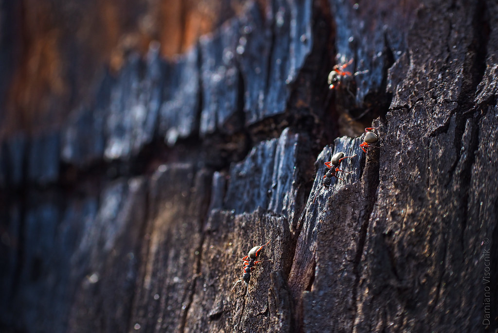 Ants on charred bark_c