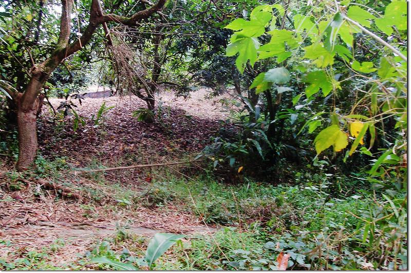 石子頭山果園 1