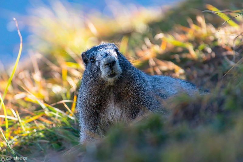Hoary marmot 1 - North Cascades National Park