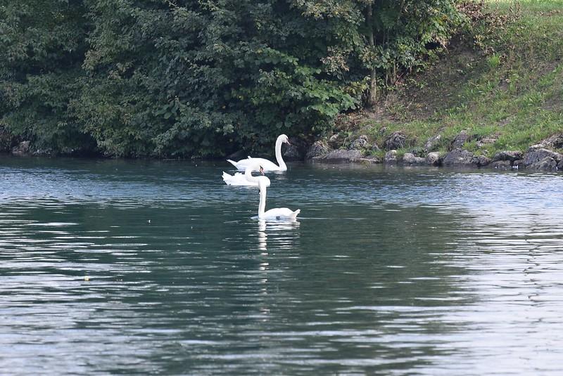 Swans 26.09 (6)