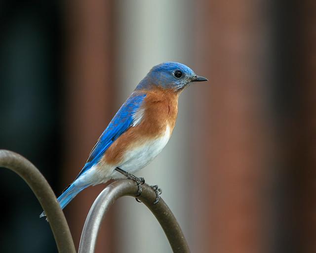 Eeatern-Bluebird-reprocess-2016