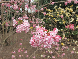 Viburnum x bodnantense 'Dawn' (paper bush in background)