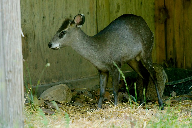 Western Tufted Deer