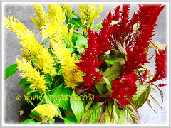 Yellow and red flowers of Celosia argentea (Plumed Cockscomb, Silver Cock's Comb), added to our garden collection, 12 Oct. 2016