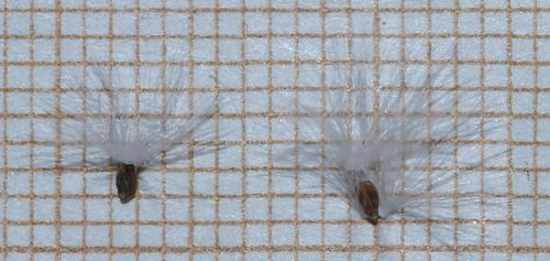 Epilobium canum - fuchsia de Californie 30287385716_82b57a5fa2