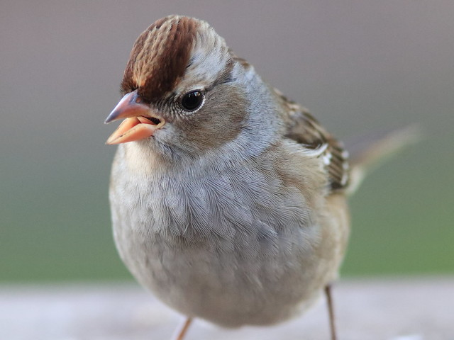 White-crowned Sparrow portrait 01-20161014