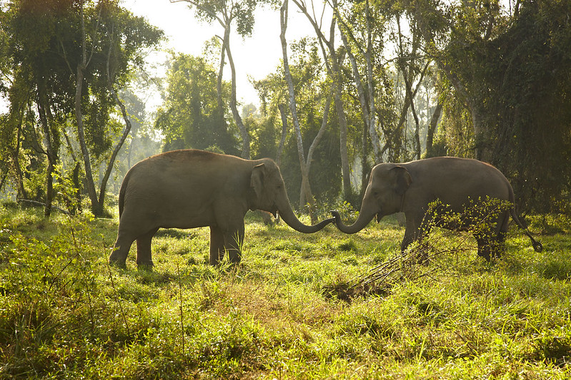 Resident elephants at Anantara Golden Triangle Resort and Spa