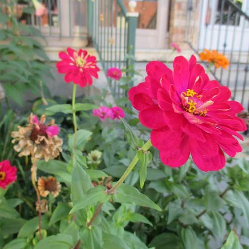 Red #toronto #flowers #zinnia #latergram #red