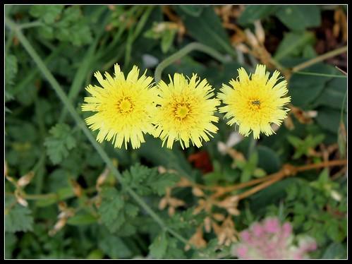 Pilosella officinarum- Hieracium pilosella (2)