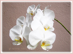 White Phalaenopsis Orchid cv. aphrodite (Moth Orchid, Phal.) blooming again on 30th Jan. 2016