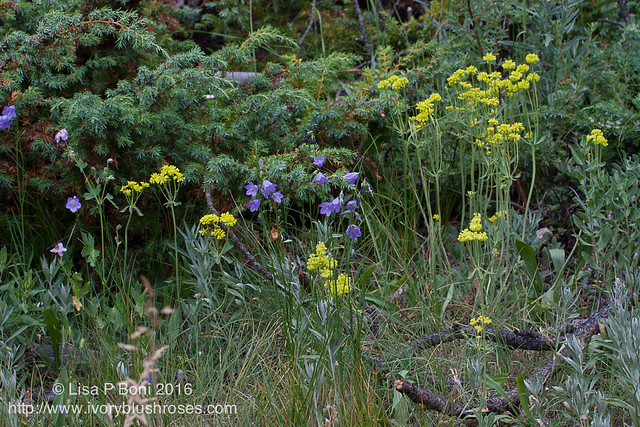 2016.07.21RMNPflowers17