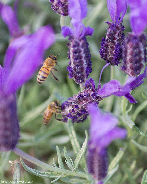 Bees enjoying lavender 06