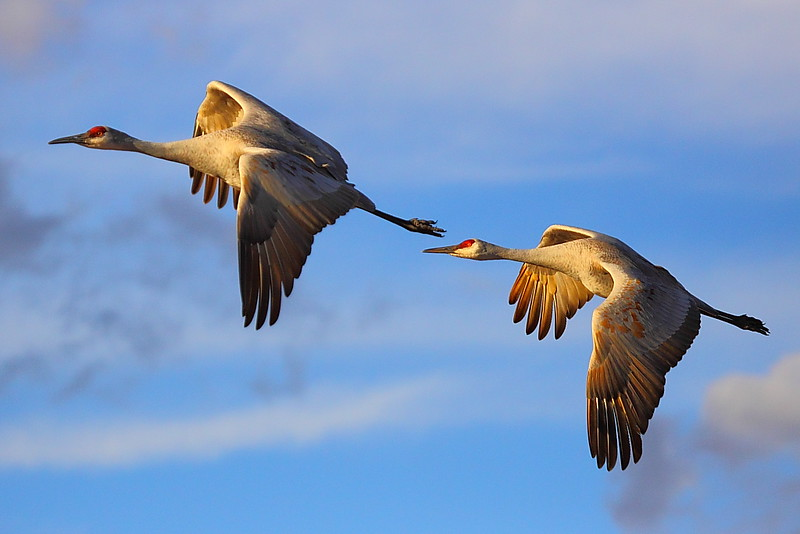 IMG_6369 Sandhill Crane