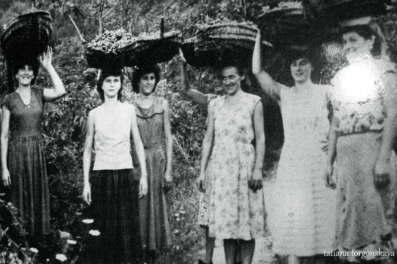 Старое фото женщин , собиравших виноград