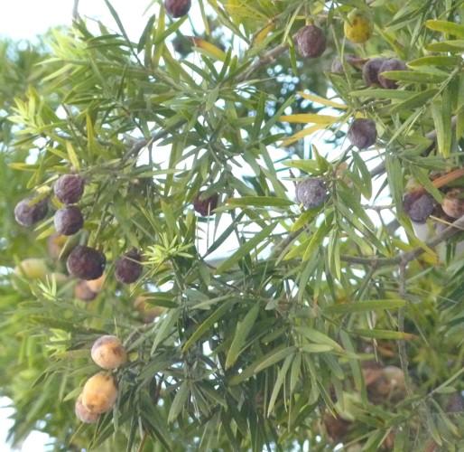 Afrocarpus gracilior 28144566524_a68c974c5b_o