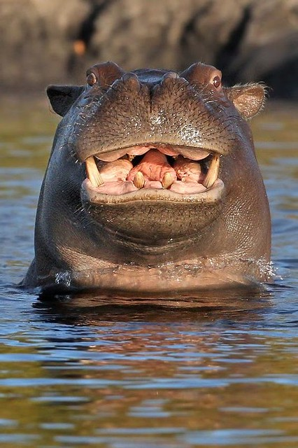 HippoSmile