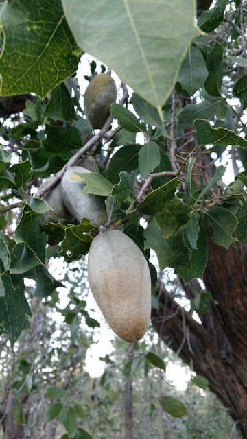 woody pear seed pod